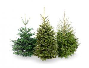 christmas trees 300x230