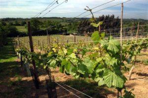 vineyard 300x199